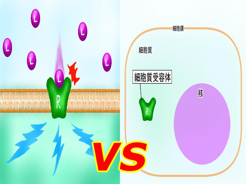 細胞膜受容体、核内受容体違い2