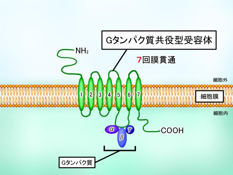 Gタンパク質共役型受容体