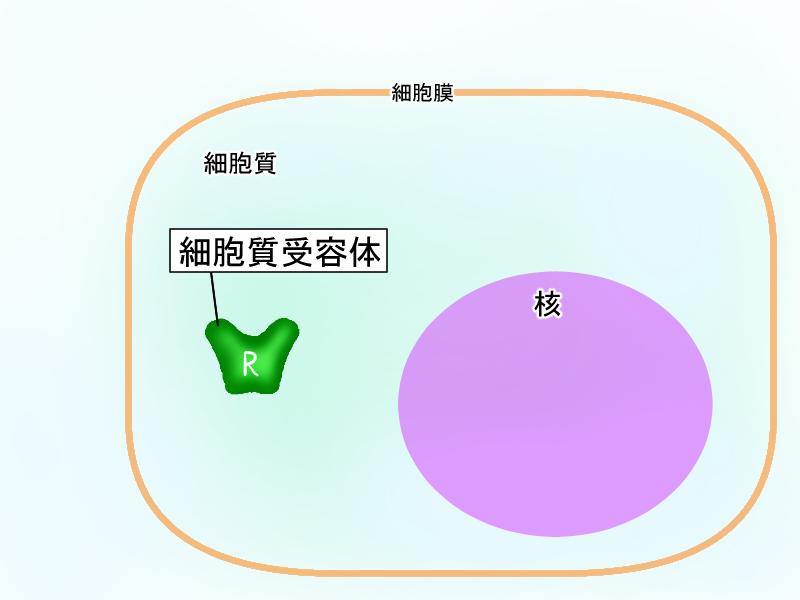細胞質受容体