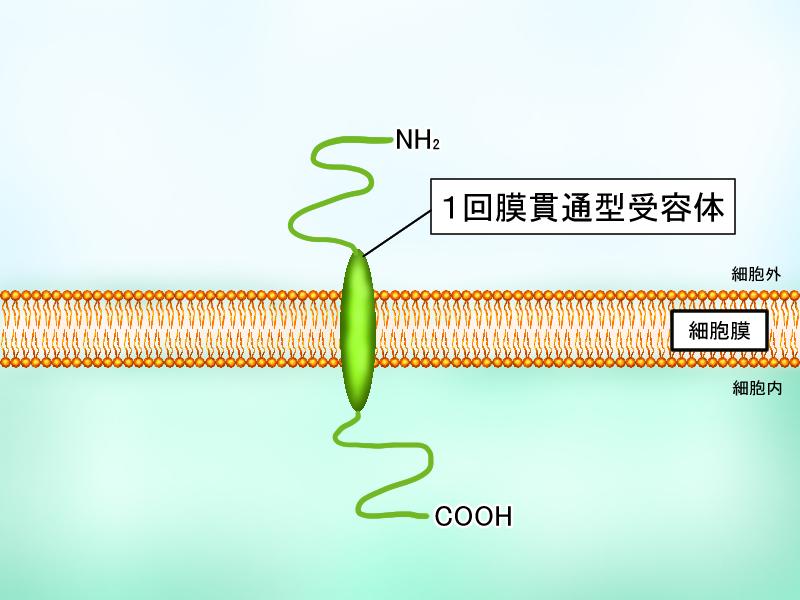 一回膜貫通型受容体