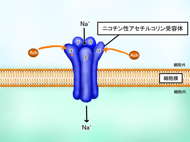 イオンチャネル内蔵型受容体