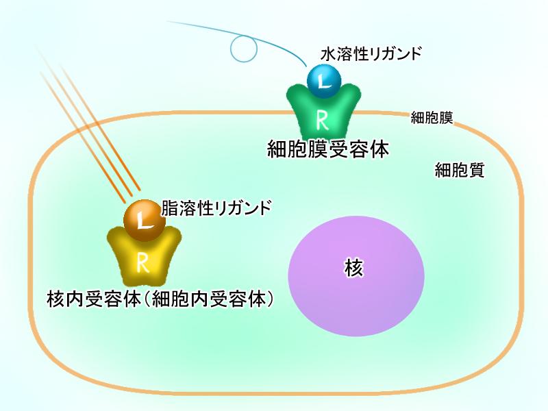 細胞膜受容体、核内受容体違い+